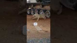 بالفيديو شاهد لبوة ترافق القوات السعودية في الحد الجنوبي