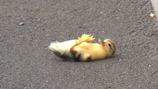 Duck lose their baby - you will cry 😢