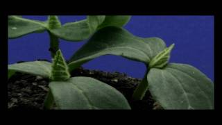 Cucumber Plant Time Lapse HD