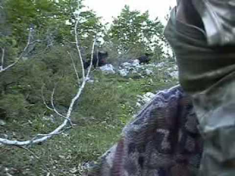 chi aspetta l orso si becca il cinghiale