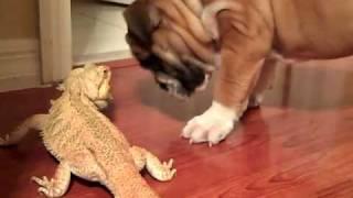 English bulldog & Bearded Dragon