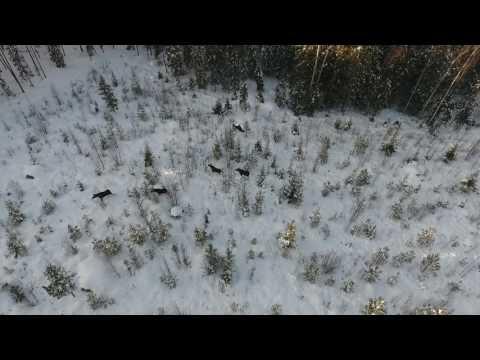 Älg/Moose filmed in Finland (Drone footage)