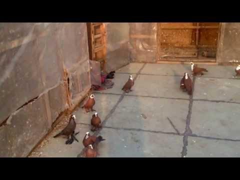 طيور اصيله طوراد الاحمر