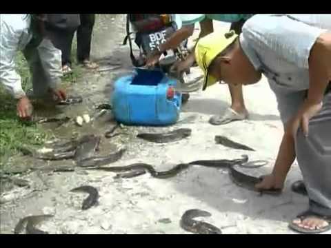 Padi SRI Cara Tangkap Ikan Haruan Guna Renjatan Elektrik