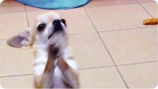 Chihuahua Dances On Hind Legs