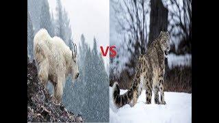 Mountain Goat vs Snow Leopard