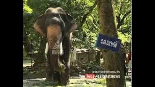 കൊമ്പ് മുറിച്ച് ഗുരുവായൂര് കൊമ്പന്മാര് | Elephants in Guruvayoor gets horn trimming