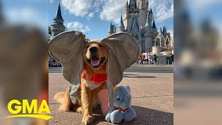 This service dog just took the cutest trip to Disney World  | GMA Digital