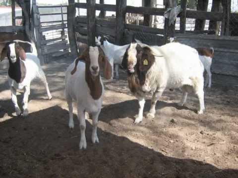 Chivos Caprinos boer chivos boer boer goat México Informes al whats cel. 237 1002818