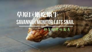 阿傻吃蝸牛Hungry Savannah Monitor lizard eats snail