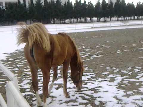 Karabakh horse filly