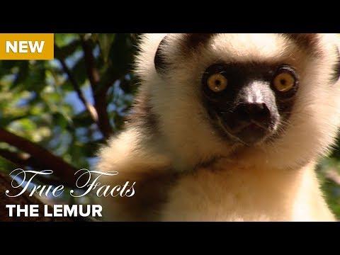 Xxx Mp4 True Facts The Lemur 3gp Sex