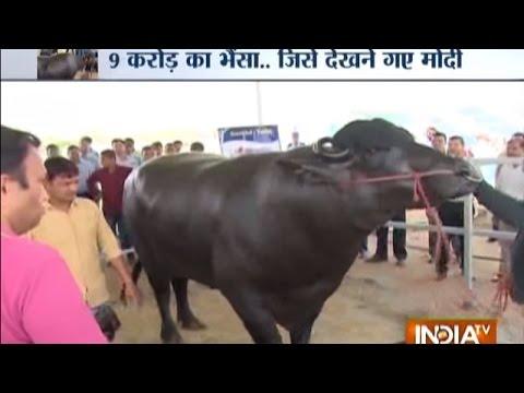 The Murrah Buffalo: Shocking Diet of Buffalo Worth Rs 9 Crore