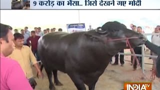 The Murrah Buffalo: Shocking Diet of Buffalo Worth Rs 9 Crore