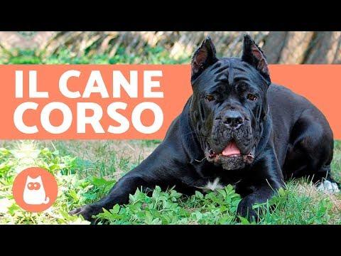 Cane Corso italiano documentario – Carattere e addestramento del cane Corso