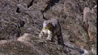 (1/6) Snow Leopard of Pakistan - Beyond the Myth