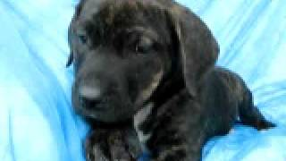 Video of adoptable pet Mary Ann - Lil' Rascals