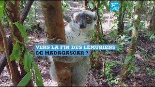 Vers la disparition des lémuriens de Madagascar ?