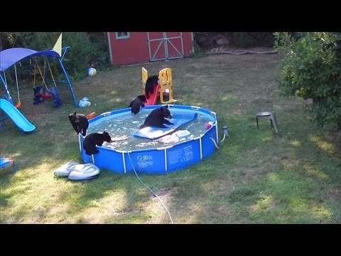 Xxx Mp4 Momma Bear And Cubs Caught Having A Pool Party In Backyard 3gp Sex
