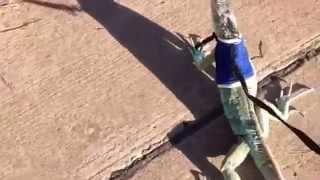 Walking My Iguana