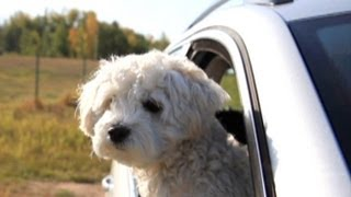 Dogs Causing Car Accidents? Dog Crash Dummies Video