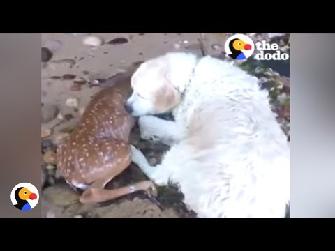 Xxx Mp4 BRAVE Dog Saves Deer From Drowning The Dodo 3gp Sex