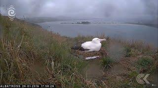 Nesting Dunedin albatross couple go live on webcam: RNZ Checkpoint