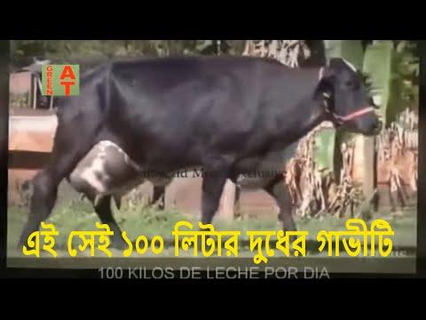 Xxx Mp4 ১০০ লিটার দুধের গিরলান্ডো গাভী গাভীর জাত উন্নয়ন পদ্ধতি World Famous Cow Girlando 3gp Sex