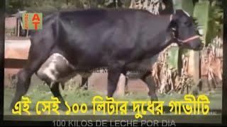 ১০০ লিটার দুধের গিরলান্ডো গাভী ও গাভীর জাত উন্নয়ন পদ্ধতি, World Famous Cow Girlando