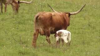 Cattle Ranching - America's Heartland: Episode 917
