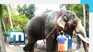 Injured Elephant Paraded For Temple Festival In Kakkanad| Mathrubhumi News