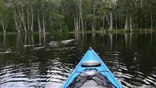 Alligator Swimming In The Silver River