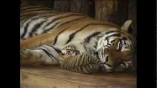 Super Süß - Amazing Cute - Tigerbaby kuschelt mit Mama ; Baby tiger snuggling with Mom