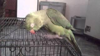 My Angry Bird ( Mitthu )