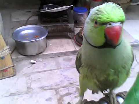 Xxx Mp4 Talking Parrot Sindhi 0008 3GP 3gp Sex