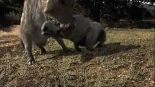 Prédateurs de la préhistoire - Le cochon tueur (4 sur 5)
