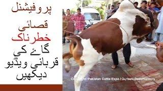 || Angry cow qurbani || 2016 || 2017 || Professional Qasai || Funny || Eid ul adha ||