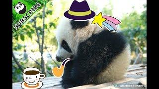 【Panda Theme】How Cute Can Sesame And Cheese be ? | iPanda