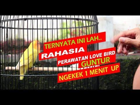 RAHASIA PERAWATAN HARIAN LOVEBIRD GUNTUR SUPAYA NGEKEK PANJANG
