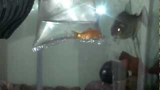 Super aggressive Black piranha
