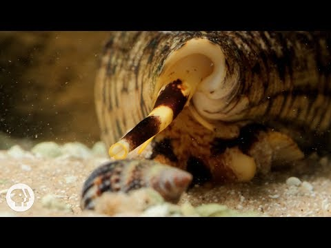 Xxx Mp4 Watch These Cunning Snails Stab And Swallow Fish Whole Deep Look 3gp Sex