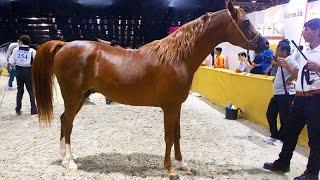 Arabian Horse, before The Show