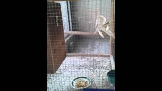See this amazing cockatiel mating video