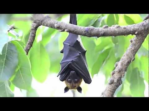 Xxx Mp4 True Facts About The Fruit Bat 3gp Sex
