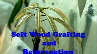 Soft Wood Grafting & Rejuvenation