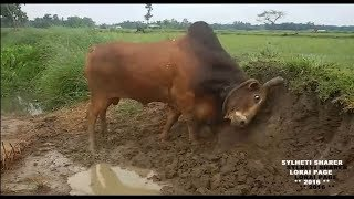 Sylheti Bisal LAL BARUT Moulvibazar 2016