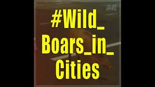 Korean cities have a problem with wild boars