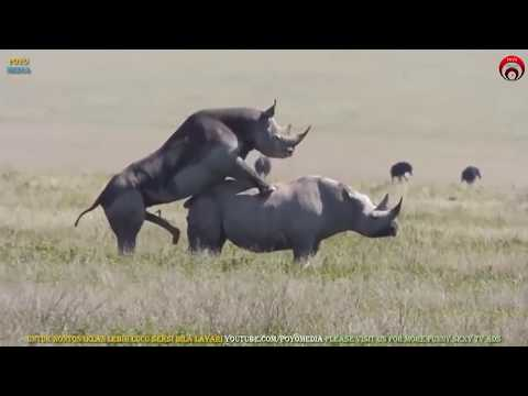 Bersetubuh Seperti Badak Sumbu Rare Rhinos Mating Apareamiento de Rinoceronte राइनो संभोग