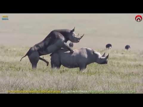 Xxx Mp4 Bersetubuh Seperti Badak Sumbu Rare Rhinos Mating Apareamiento De Rinoceronte राइनो संभोग 3gp Sex