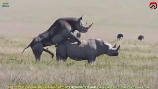 Bersetubuh Seperti Badak Sumbu | Rare Rhinos Mating | Apareamiento de Rinoceronte | राइनो संभोग